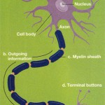 How Is The Brain Wiring Created?